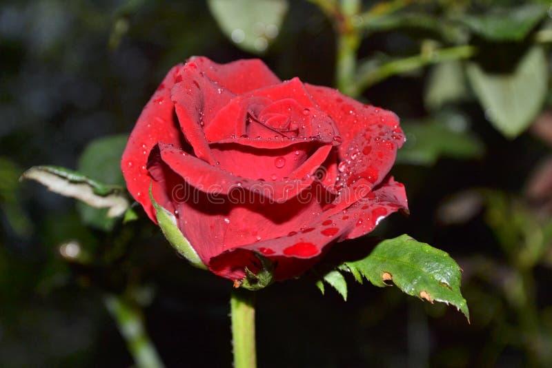Flor cor-de-rosa do vermelho fotos de stock royalty free