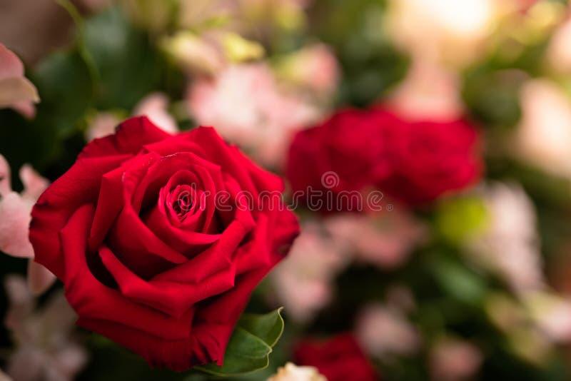Flor cor-de-rosa do vermelho bonito - fim acima foto de stock royalty free