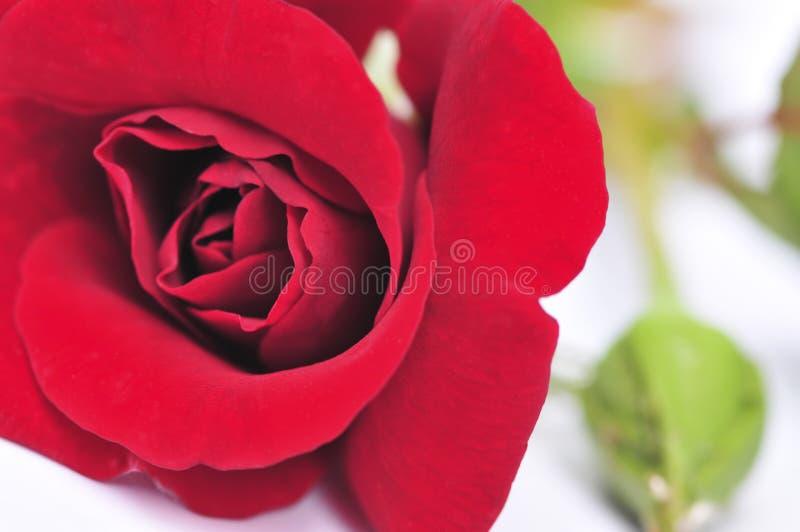 Flor cor-de-rosa do vermelho no fundo branco imagens de stock royalty free