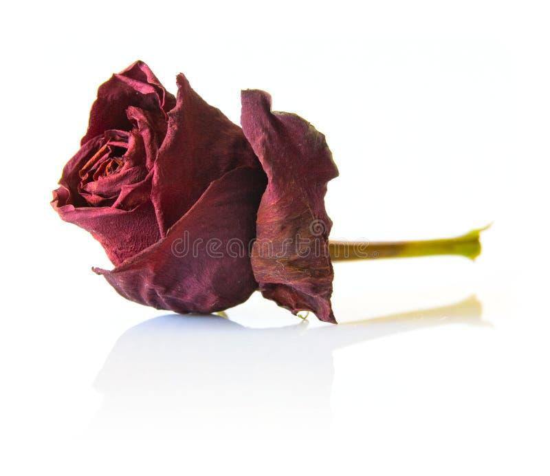 Flor cor-de-rosa do vermelho seco imagens de stock