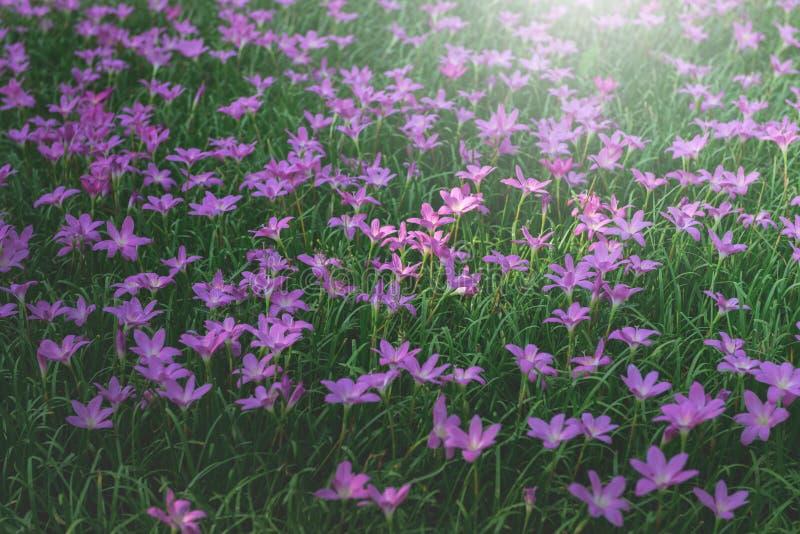 Flor cor-de-rosa do z?firo no jardim imagens de stock