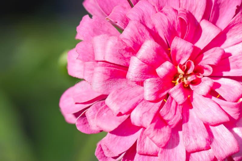 Flor cor-de-rosa do Zinnia. imagem de stock royalty free