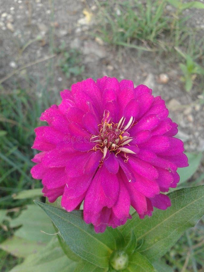 Flor cor-de-rosa do Zinnia imagem de stock
