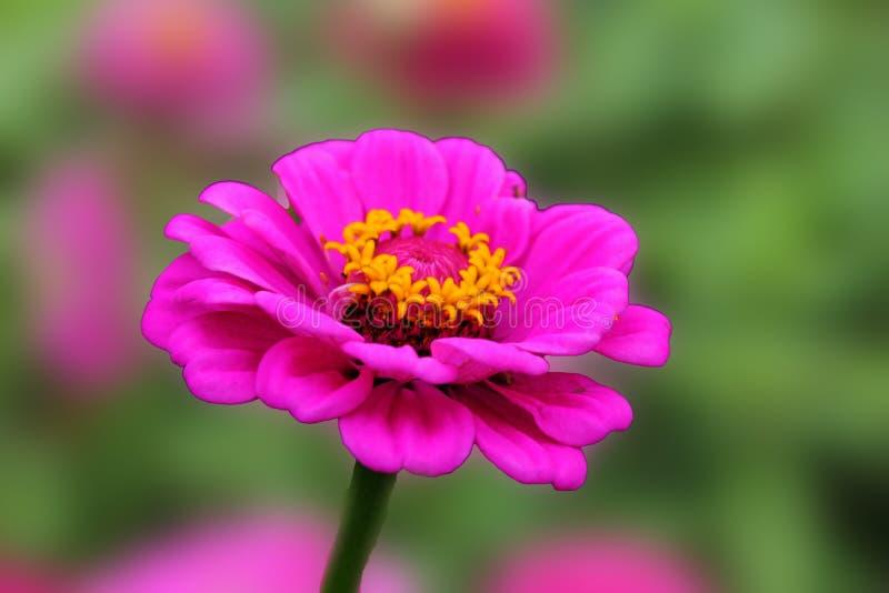 A flor cor-de-rosa do zinnia exulta no verão flor cor-de-rosa cor-de-rosa no fundo verde isolado fotos de stock