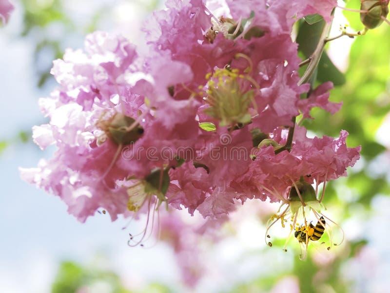 Flor cor-de-rosa doce da flor e a abelha na lanterna dos estames foto de stock