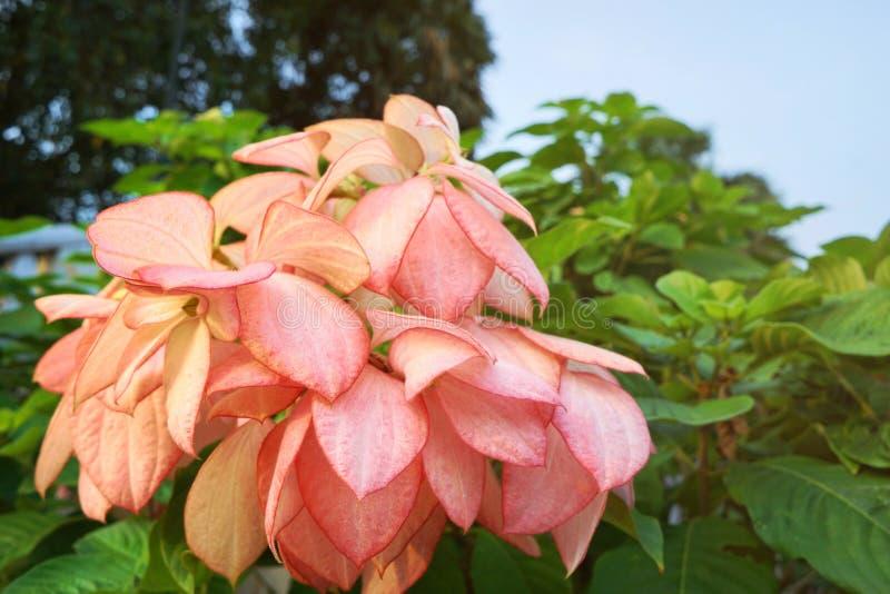 Flor cor-de-rosa de Dona Queen Sirikit imagem de stock royalty free