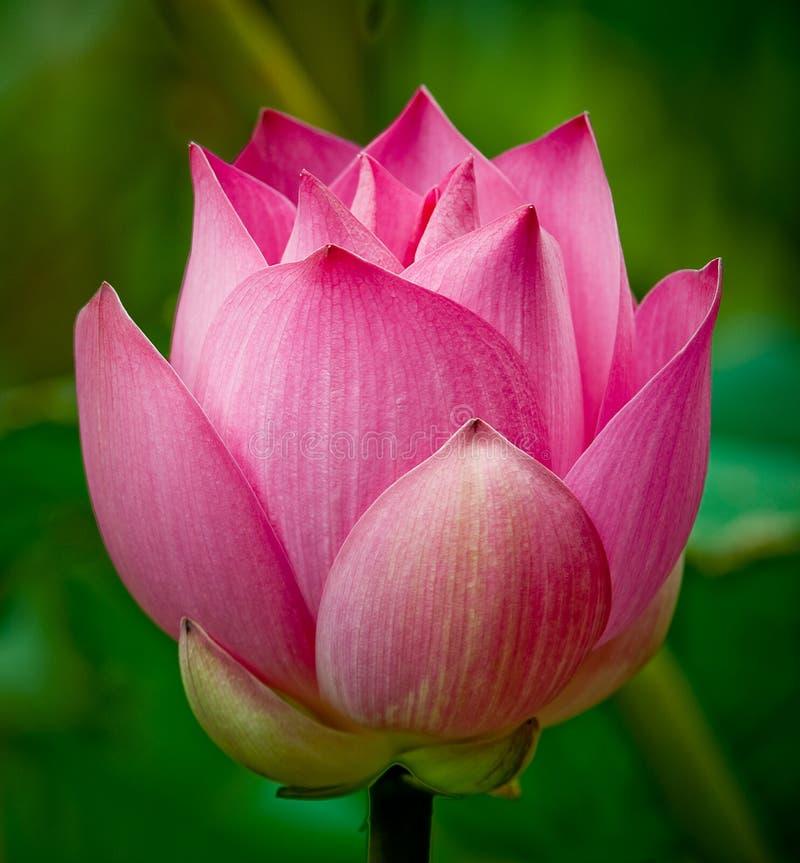 Flor cor-de-rosa dos lótus imagens de stock