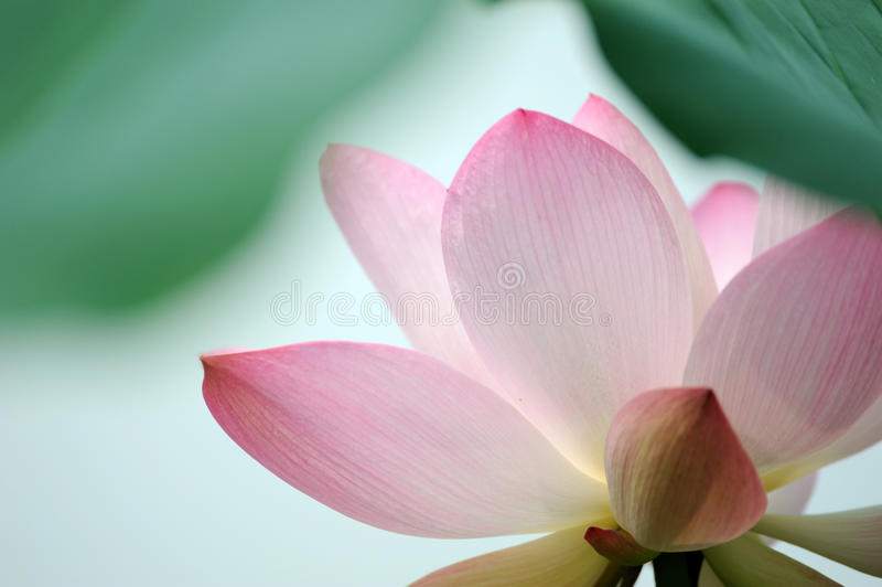Flor cor-de-rosa dos lótus imagem de stock