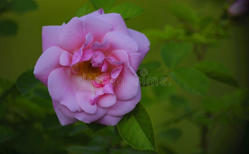 Flor cor-de-rosa dos verdes suculentos das folhas da rosa fotos de stock royalty free