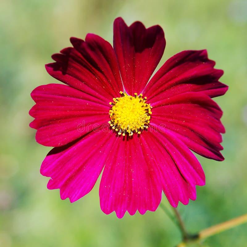 Flor cor-de-rosa e amarela foto de stock royalty free