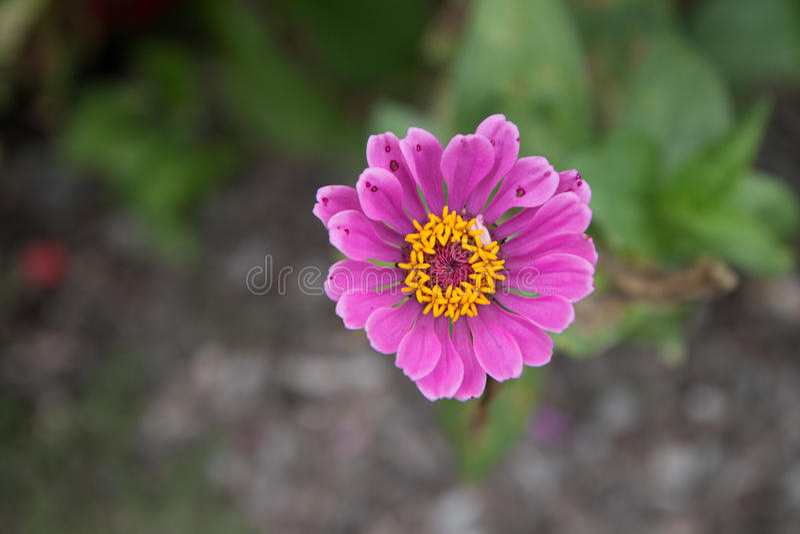 Flor cor-de-rosa e amarela fotografia de stock