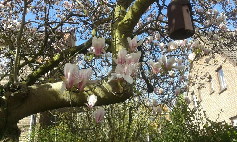 Flor cor-de-rosa e branca da magnólia imagens de stock royalty free