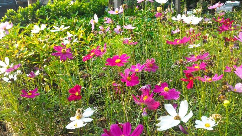 Flor cor-de-rosa e branca do cosmos fotografia de stock royalty free