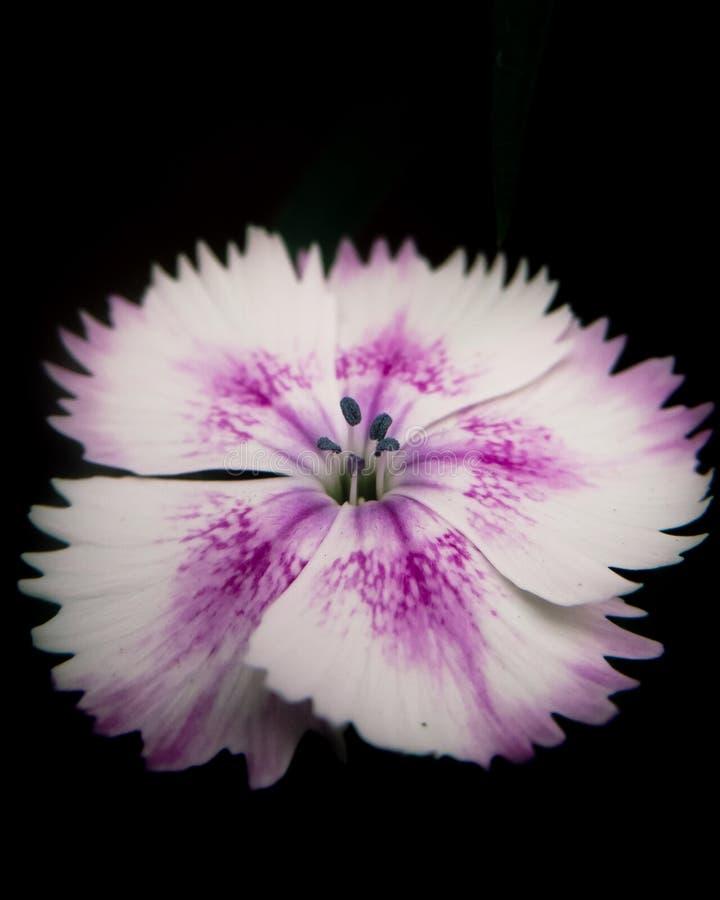 Flor cor-de-rosa e branca macro fotografia de stock royalty free