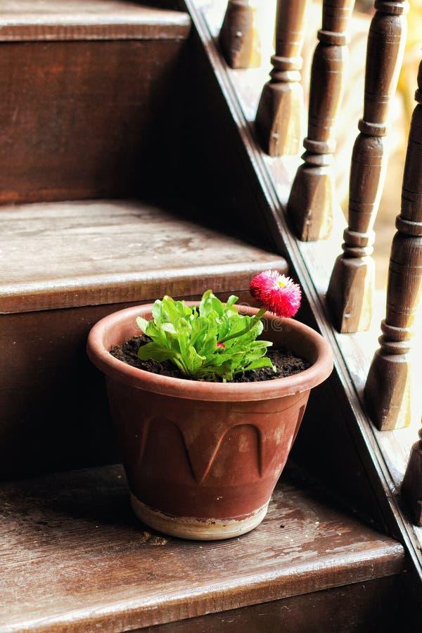 Flor cor-de-rosa e potenciômetro marrom nas escadas fotos de stock royalty free