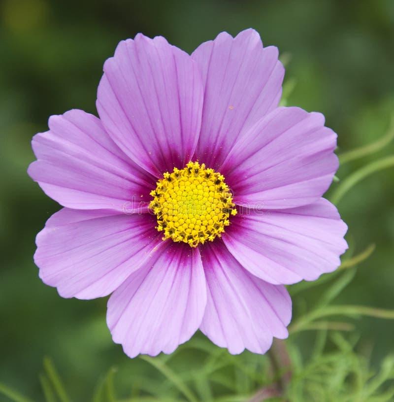 Flor cor-de-rosa e roxa imagem de stock