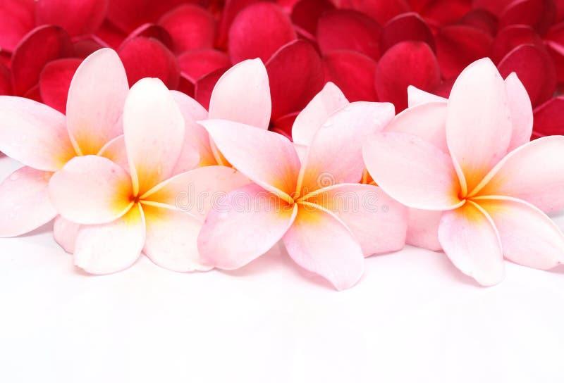 Flor cor-de-rosa e vermelha do Plumeria do Frangipani foto de stock
