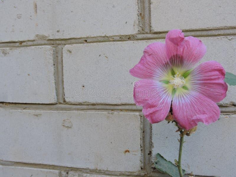 Flor cor-de-rosa em um fundo da parede de tijolo foto de stock