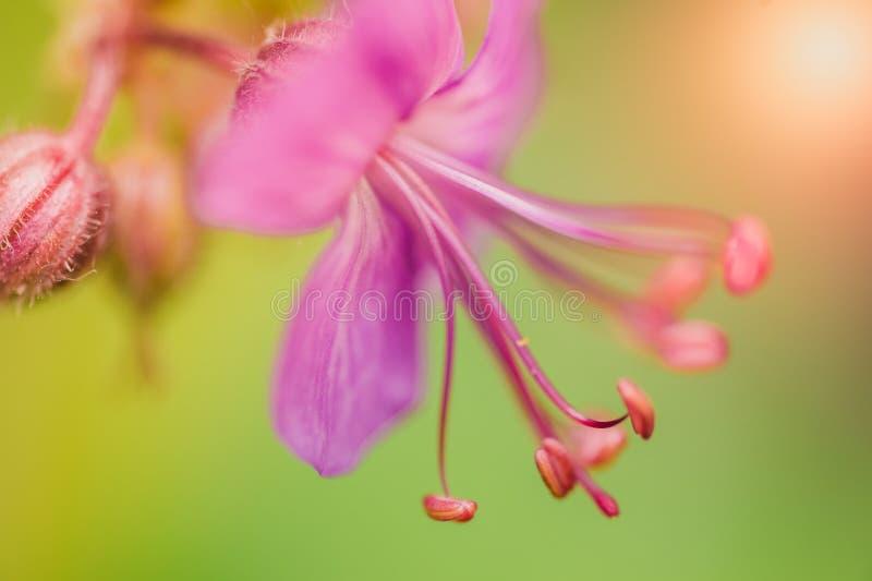 Flor cor-de-rosa em um jardim próximo ao mar imagem de stock