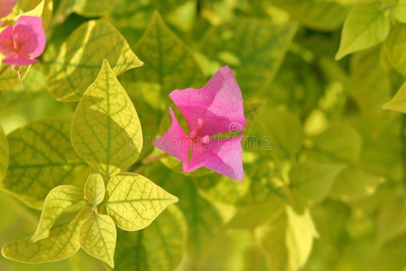Flor cor-de-rosa em um jardim imagens de stock