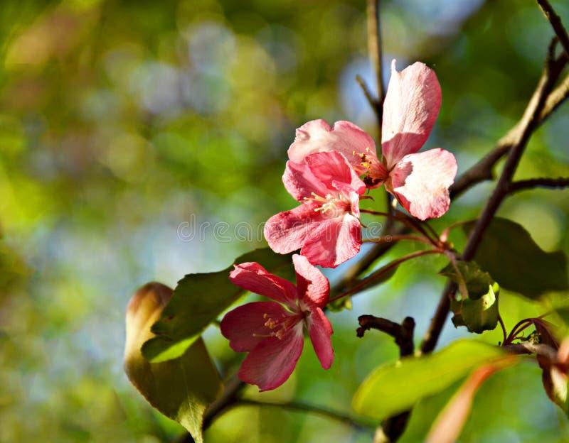 Flor cor-de-rosa de flores da árvore de maçã em uma estadia de mola imagens de stock royalty free