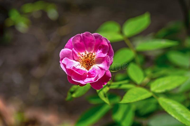 Flor cor-de-rosa de florescência de Rosa Gallica ou Rosa francesa em um jardim Feche acima e opinião de ângulo superior imagens de stock royalty free