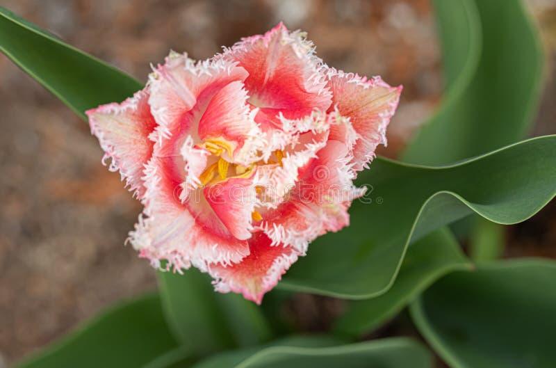Flor cor-de-rosa franjada da tulipa no canteiro de flores no parque da cidade fotografia de stock