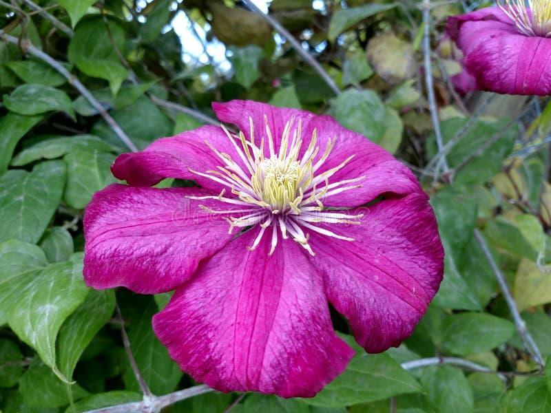 Flor cor-de-rosa grande fotografia de stock royalty free
