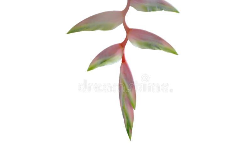 Flor cor-de-rosa de Heliconia que pendura do ramo no fundo branco imagens de stock royalty free