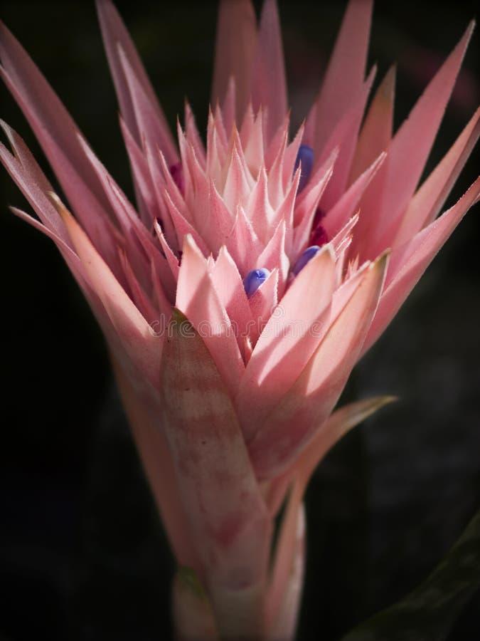 Flor cor-de-rosa incomun imagem de stock