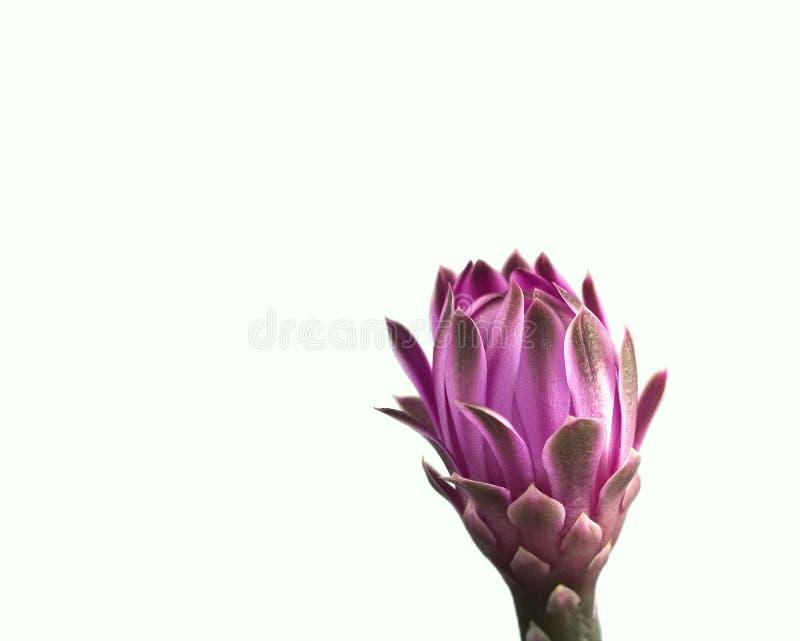 Flor cor-de-rosa isolada do cacto fotografia de stock royalty free