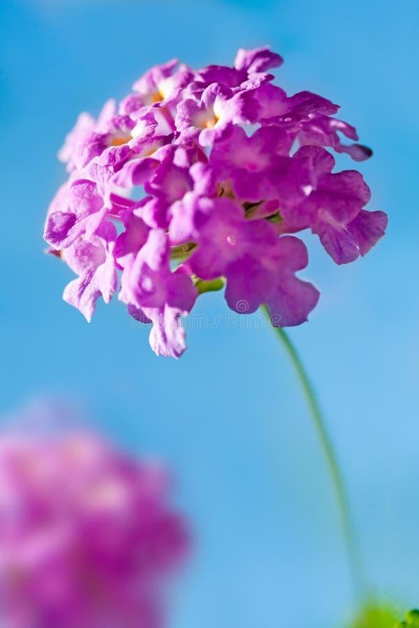 Flor cor-de-rosa - Lantana Montevidensis foto de stock royalty free