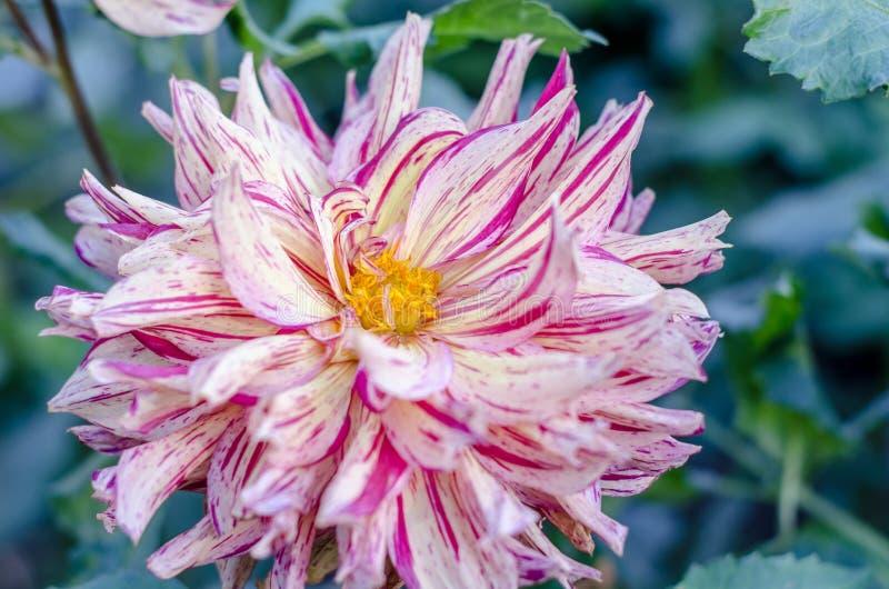 Flor cor-de-rosa listrada que floresce no fundo verde Autumn Chrysanthemum fotografia de stock