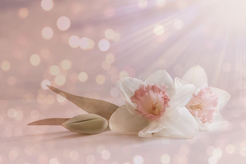 A flor cor-de-rosa macia, branca do narciso amarelo, flor da mola no fundo pastel com borrão ilumina-se cartão floral romântico,  imagens de stock royalty free