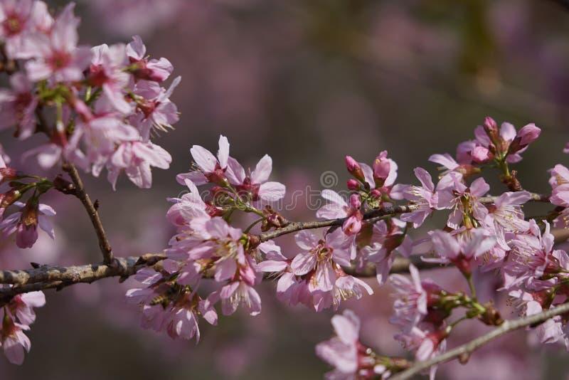 Flor cor-de-rosa macia da flor de sakura em Dalat, montanhas centrais de Vietnam foto de stock