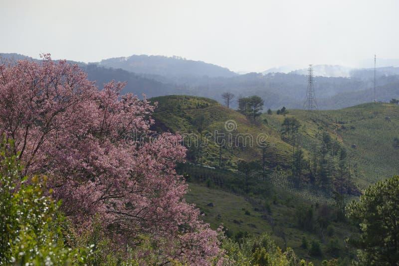 Flor cor-de-rosa macia da flor de sakura em Dalat, montanhas centrais de Vietnam imagens de stock