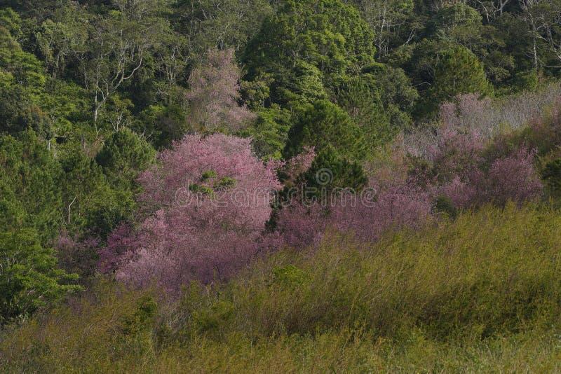 Flor cor-de-rosa macia da flor de sakura em Dalat, montanhas centrais de Vietnam fotos de stock
