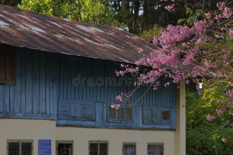 Flor cor-de-rosa macia da flor de sakura em Dalat, montanhas centrais de Vietnam foto de stock royalty free