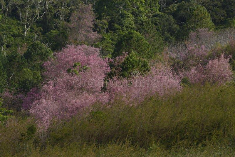 Flor cor-de-rosa macia da flor de sakura em Dalat, montanhas centrais de Vietnam imagem de stock