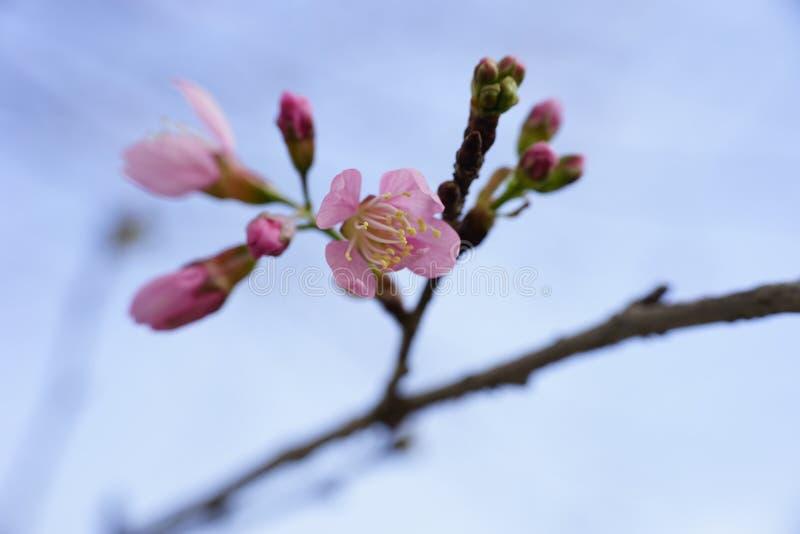 Flor cor-de-rosa macia da flor de sakura em Dalat, montanhas centrais de Vietnam imagens de stock royalty free