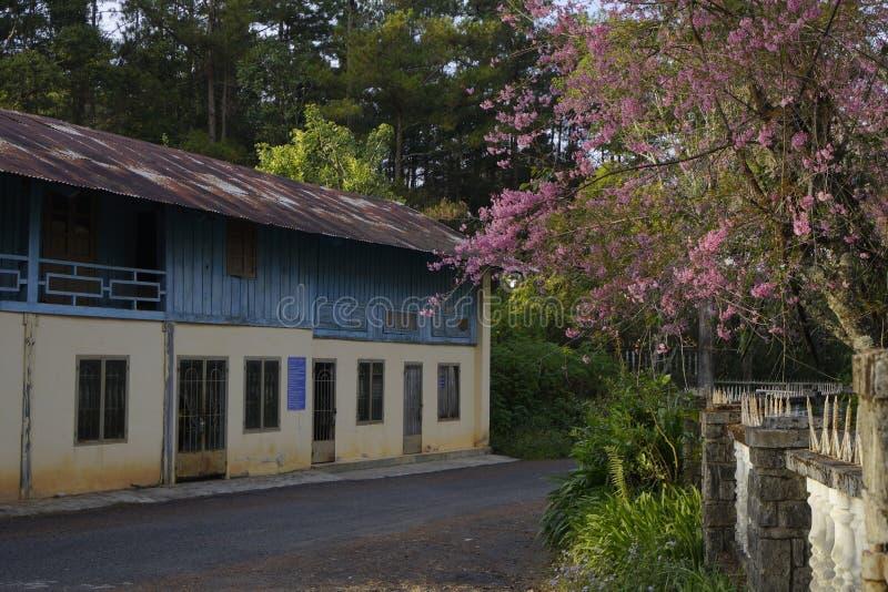 Flor cor-de-rosa macia da flor de sakura em Dalat, montanhas centrais de Vietnam fotos de stock royalty free