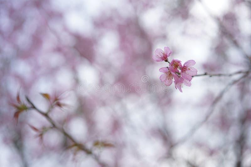 Flor cor-de-rosa macia da flor de sakura em Dalat, montanhas centrais de Vietnam fotografia de stock