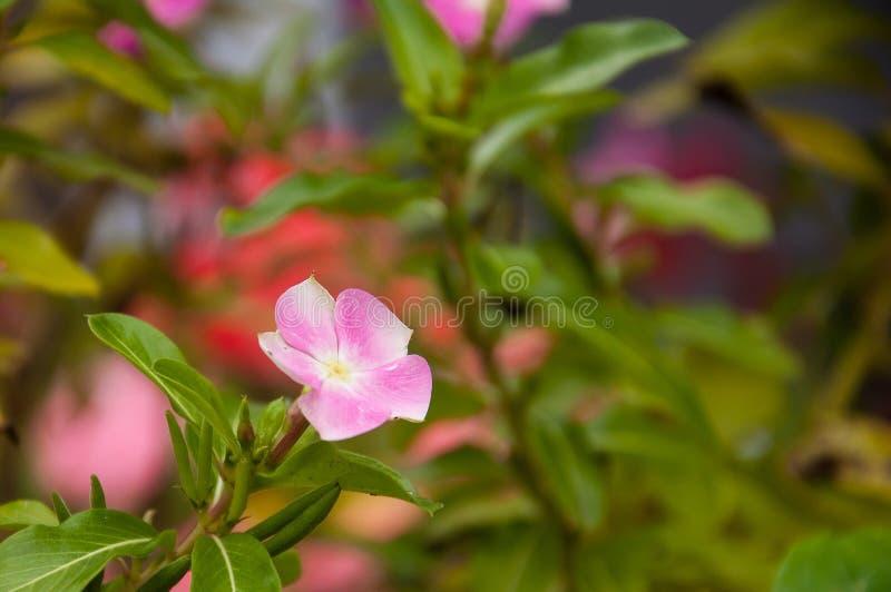 Flor cor-de-rosa menor do Vinca imagens de stock