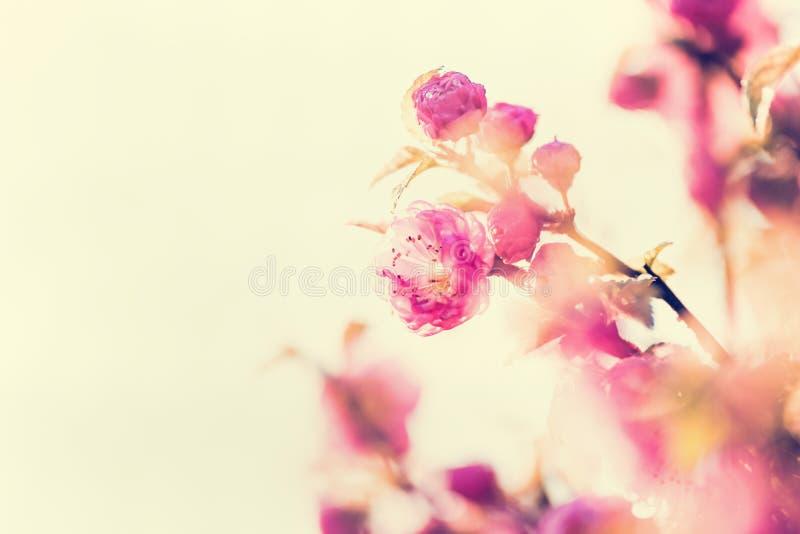 Flor cor-de-rosa na luz solar, verão bonito exterior foto de stock