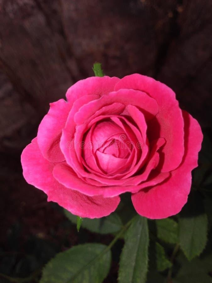 Flor cor-de-rosa natural de Sri Lanka fotografia de stock