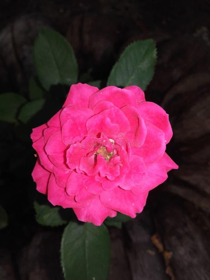 Flor cor-de-rosa natural de Sri Lanka fotos de stock royalty free