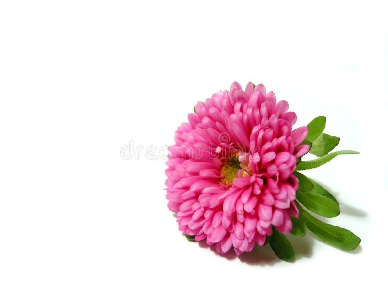 Flor cor-de-rosa no fundo branco foto de stock