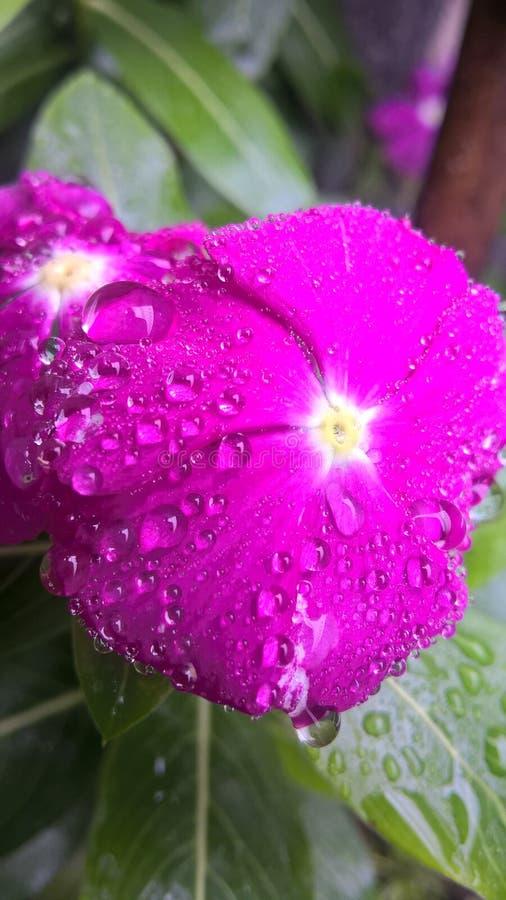 Flor cor-de-rosa no jango pequeno foto de stock