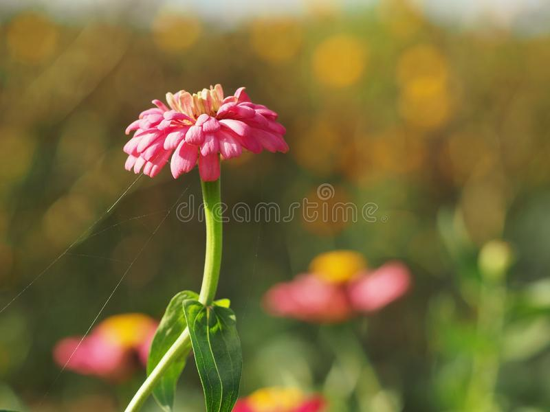 Flor cor-de-rosa no jardim fotografia de stock royalty free