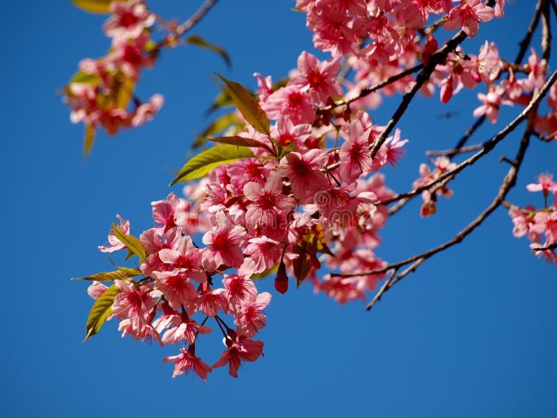 Flor cor-de-rosa no norte de Tailândia fotografia de stock